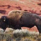 Bison by pmreed