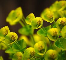 Yellow Euphorbia by photojeanic