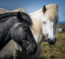 Icelandic Horses by Wei Hao Ho