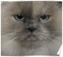 himilayan cat Poster