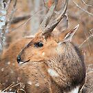 Bushbuck by Vickie Burt