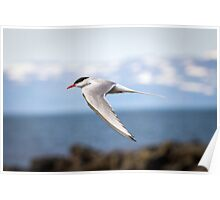 Artic Tern in Flight Poster
