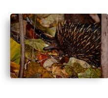 Muddy Echidna  Canvas Print