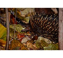 Muddy Echidna  Photographic Print