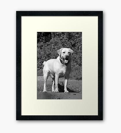 YELLOW LABRADOR Framed Print