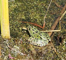 Green Frog in a  Pond by rhamm