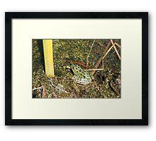 Green Frog in a  Pond Framed Print