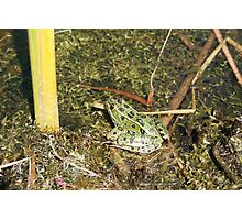 Green Frog in a  Pond Photographic Print