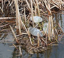 Three Painted Turtles in a Marsh by rhamm