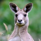 """ Portrait of a Kangaroo II "" by helmutk"