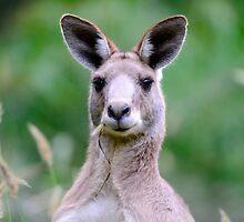 """ Portrait of a Kangaroo II "" by helmutk"