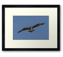 Osprey with fish Framed Print
