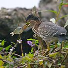 Juvenile Green Heron with Brunch... by RichImage