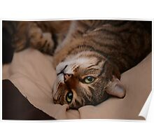 Lazing Tabby Cat  Poster