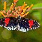Common Longwing Butterfly by M.S. Photography & Art