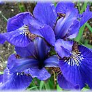 Blue Iris Vignette by MidnightMelody