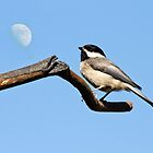 black capped chickadee 5 2012 by canonman7D