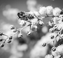 Spring Wattle B&W by Candice O'Neill