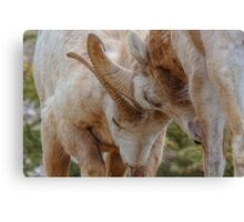 Butting Heads Canvas Print
