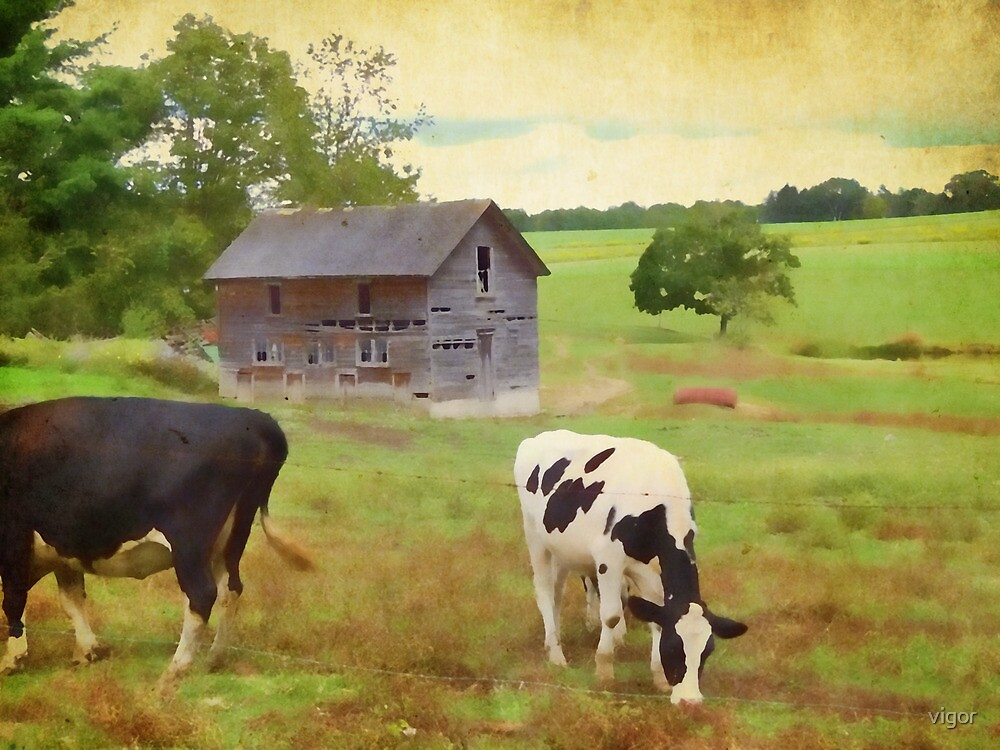 Cows in the field by vigor