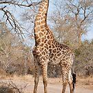 Giraffe (Giraffa camelopardalis) by Vickie Burt