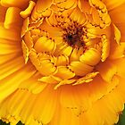 Golden Calendula by SunshineKaren