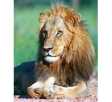 Young lion, South Africa Photographic Print