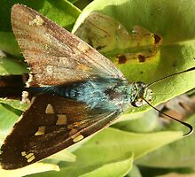 Blue and Brown Moth on a Leaf by rhamm