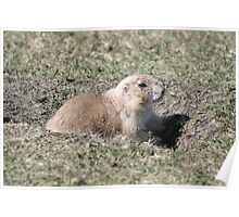 Black Tailed Prairie Dog on Watch Poster