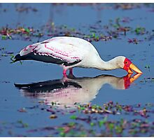 Yellow-billed stork with reflection Photographic Print