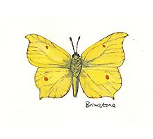 Brimstone butterfly. Photographic Print