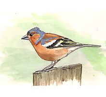 Male Chaffinch Photographic Print