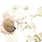 Delicate sunflower by missmoneypenny