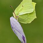 Brimstone by Gary Richardson