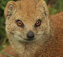 Yellow mongoose by Thea 65
