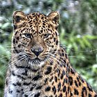 Amur leopard by TheaDaams