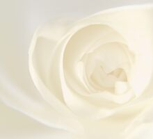 White Rose by Erik Ketting