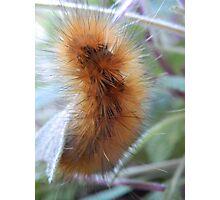 wooly caterpillar Photographic Print