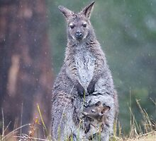 Wallabies in the rain, not a problem but Joey is getting big for the pouch by Ron Co