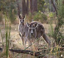 Curious Kangaroos by charlottegoss