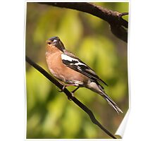Posing for my family portrait........Chaffinch ! Poster