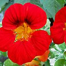 Nasturtiums by Orla Cahill Photography