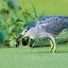 Black Crowned Night Heron by (Tallow) Dave  Van de Laar