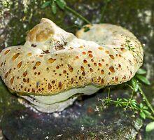 Tearful Polypore - Inonotus radiatus by MotherNature2