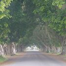 Misty Morn: Fig Tree Avenue, Grafton by SunshineKaren
