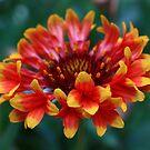 Gaillardia Flower by Keith G. Hawley