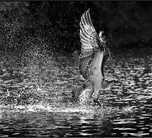 Osprey 482 by John Van-Den-Broeke
