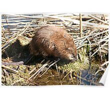 Brown Muskrat in a Marsh Poster