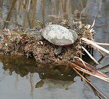 Painted Turtle Sunning on a Mud Flat by rhamm