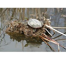Painted Turtle Sunning on a Mud Flat Photographic Print